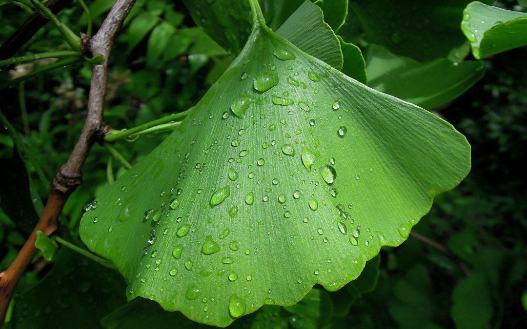 Ginkgo Bilopa Leaf